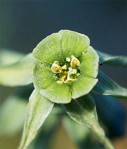 Narcissusviridiflorus4