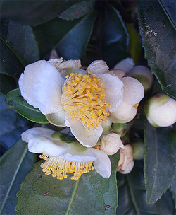 Camelliasinensis2