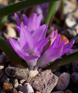 Polyxenapaucifolia10