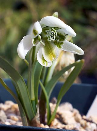 Galanthusnivalisflorepleno5