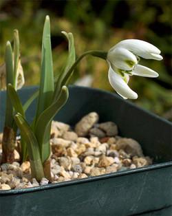 Galanthusnivalisflorepleno6