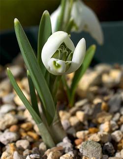 Galanthusnivalisflorepleno7