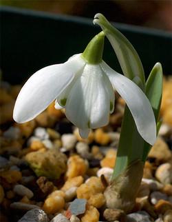 Galanthusnivalisflorepleno8