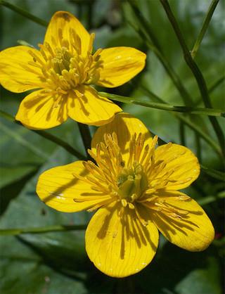 Calthapalustrisenkoso1