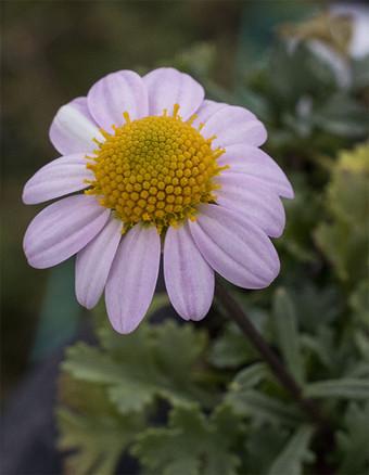Chrysanthemumyezoense1