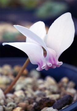 Chederifoliumlysander