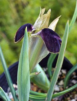 Iristuberosa4