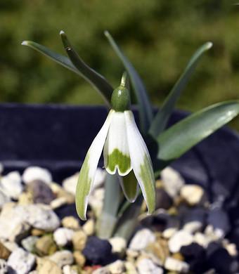 Galanthusviridipice1