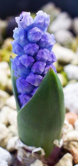 Hyacinthelladalmatica5