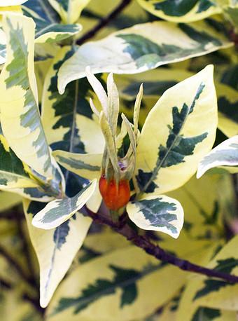 Gardeniajasminoides6