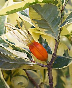 Gardeniajasminoides7