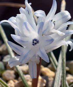 Bellevaliahyacinthoides6