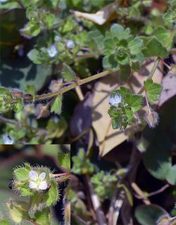 Veronicahederifolia1_2