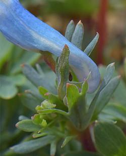 Corydaliscashmeriana13
