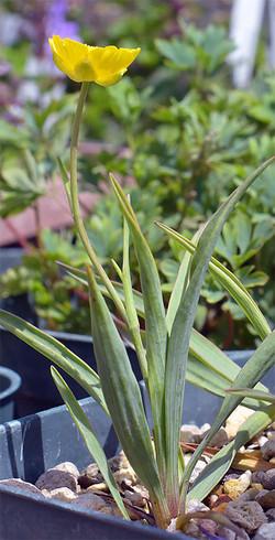 Ranunculusgramineus1