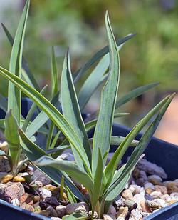 Ranunculusgramineus2
