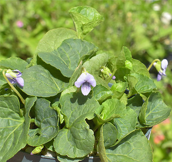 Vpalustris1