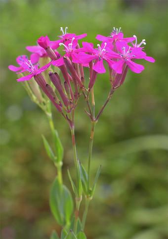 Silenesuecica1