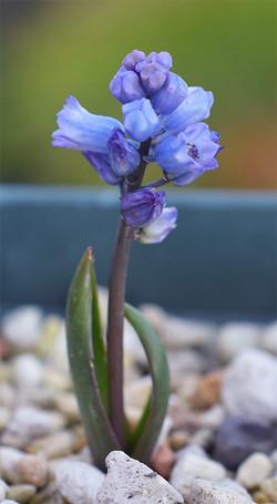 Hyacinthellaleucophaeaatchleyi2