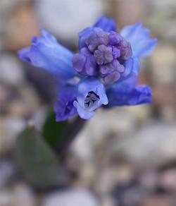 Hyacinthellaleucophaeaatchleyi4