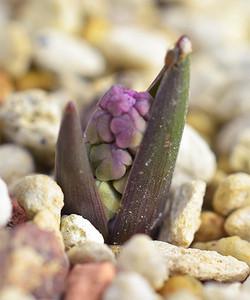 Hyacinthellaleucophaeaatchleyi6