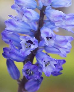 Hyacinthellcampanulata2