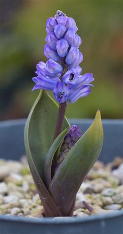 Hyacinthellcampanulata4