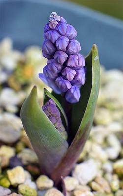 Hyacinthellcampanulata5
