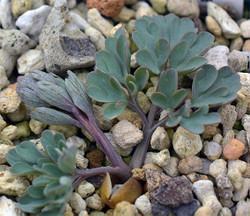 Cdensiflora5