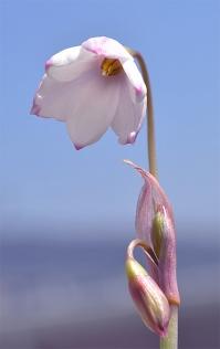 Acistrichophylla13_2