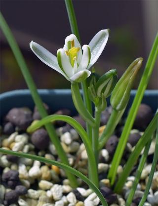 Albucapolyphylla1