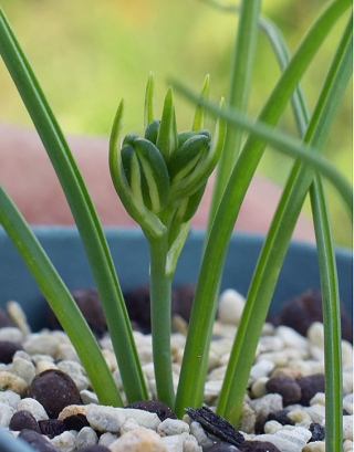 Albucapolyphylla5