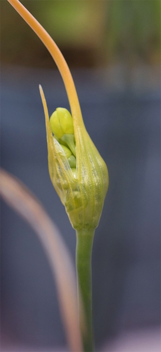 Alliumflavum3