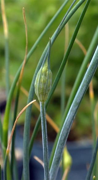 Alliumflavum4