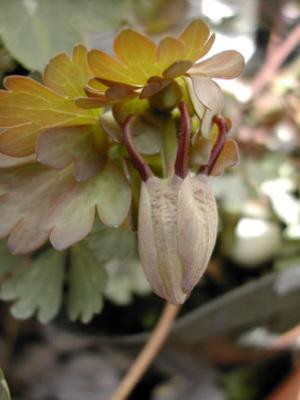Aqviridiflora1_324