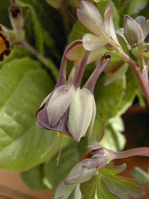 Aqviridiflora3_329