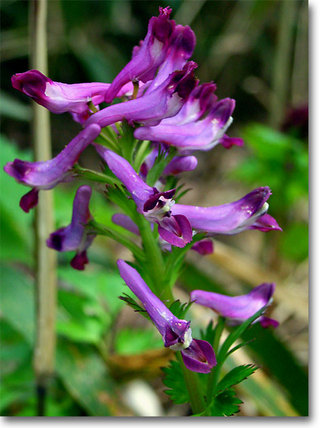 Corydalisincisa3