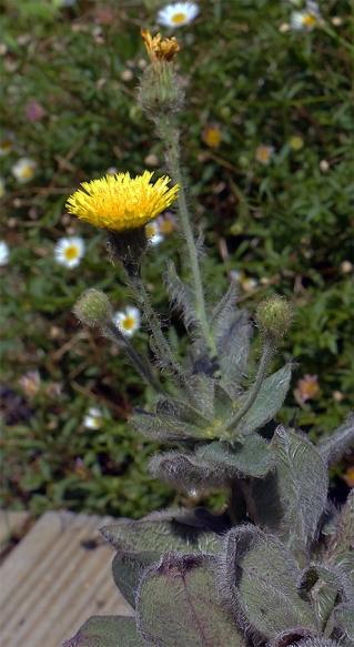 Hieraciumvillosum1