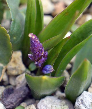 Hyacinthelladalmatica8