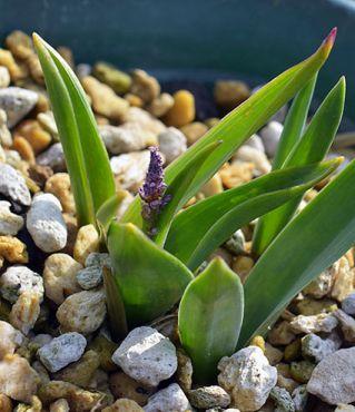 Hyacinthelladalmatica9