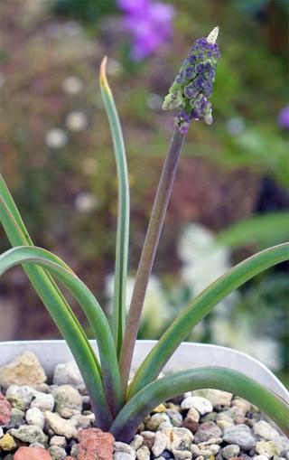 Leopoldiatenuiflora16