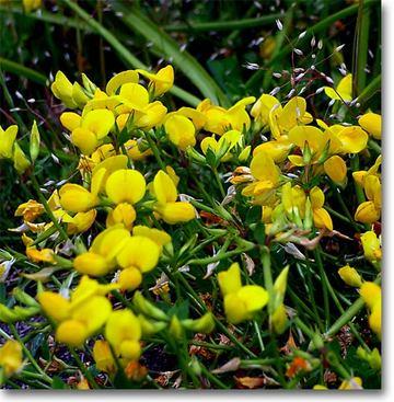 Lotusjaponicus1_1