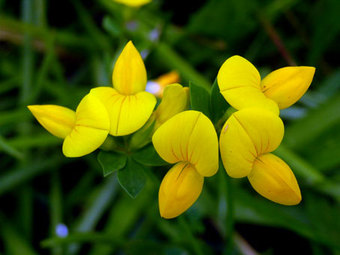 Lotusjaponicus2
