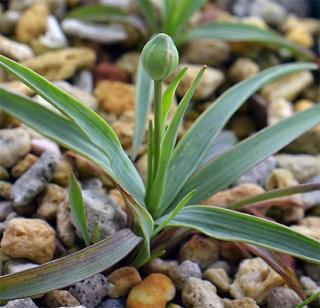 Ranunculusgramineus9