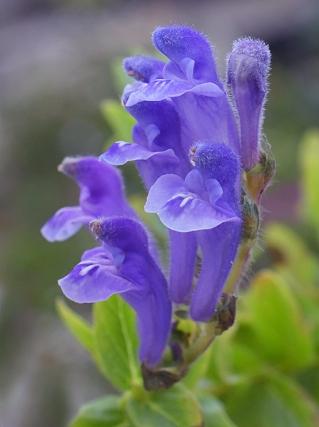 Shypericifolia10