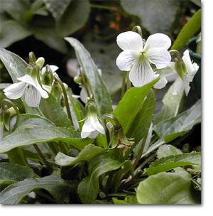 Vbetonicifolia1