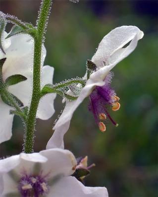 Verbascumblattaria10