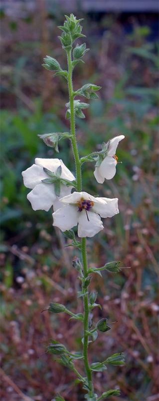 Verbascumblattaria8
