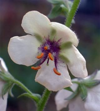 Verbascumblattaria9