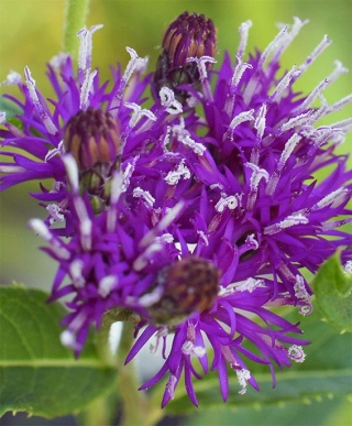 Vernoniafasciculata2-nxpowerlite-copy